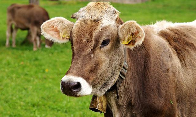 cow eats grass